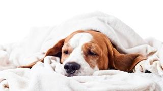 hond-ziek